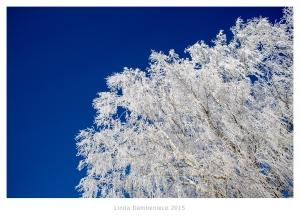 koks ziemā